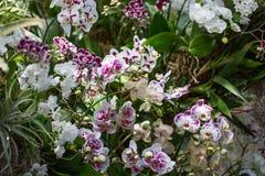Purpurrote und weiße Orchideengruppe Blume Stockfotografie