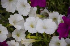 Purpurrote und weiße Petunie blüht im Garten Blume backgroun Stockfotos