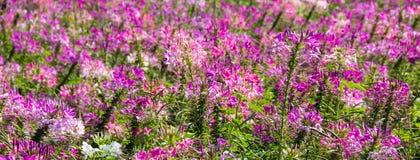 Purpurrote und weiße Spinnenblume Stockfoto