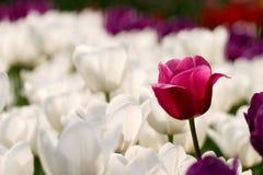 Purpurrote und weiße Tulpen Lizenzfreies Stockfoto