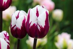 Purpurrote und weiße Tulpen Stockfotografie