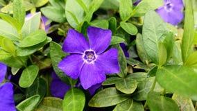 Purpurrote Vinca Flower Macro stockbild
