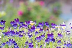Purpurrote Viola, die im Garten mit rosa Rosen im Hintergrund blühen stockbild
