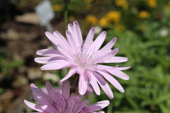 Purpurrote Viper ` s Grasblume - Schwarzwurzel Purpurea L Rosea Nyman Stockfoto