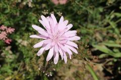 Purpurrote Viper ` s Grasblume - Schwarzwurzel Purpurea L Rosea Nyman Lizenzfreies Stockfoto