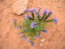 Purpurrote Wüsten-Blume stockfoto