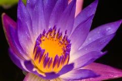 Purpurrote Wasser-Lilie Lizenzfreies Stockfoto