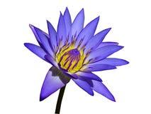Purpurrote Wasser-Lilie getrennt stockfotos