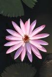 Purpurrote Wasserlilie lizenzfreies stockfoto