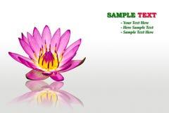 Purpurrote Wasserlilie getrennt Lizenzfreies Stockfoto