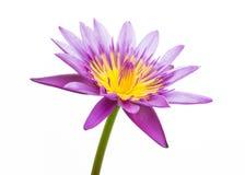 Purpurrote Wasserlilie getrennt Stockbilder
