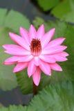 Purpurrote Wasserlilien stockbild