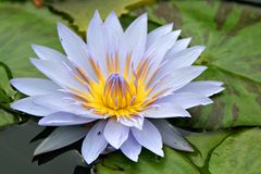 Purpurrote Waterlily Blume Lizenzfreies Stockfoto
