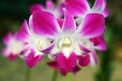 Purpurrote weiße Streifen-Orchidee Stockbild