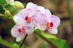 Purpurrote weiße Orchidee Knospen und grüne Blätter lizenzfreie stockfotos