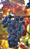 Purpurrote Weintrauben Lizenzfreies Stockfoto