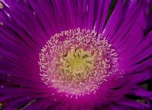 Purpurrote wild wachsende Pflanze Lizenzfreie Stockfotos