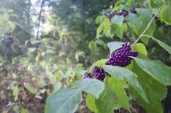 Purpurrote wilde Beeren auf einem Glied Stockfoto