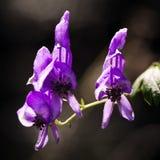 Purpurrote wilde Blume Stockbild