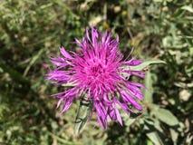 Purpurrote wilde Blume lizenzfreie stockbilder