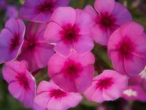 Purpurrote wilde Blume Lizenzfreies Stockbild