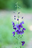 Purpurrote wilde Blume Mullein Stockbild
