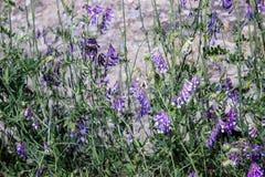 Purpurrote wilde Blumen des Frühlinges lizenzfreie stockfotografie