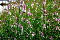 Purpurrote wilde Blumen Goa - Indien Stockbilder