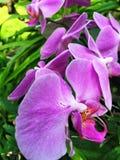 Purpurrote wilde Orchidee Lizenzfreies Stockfoto