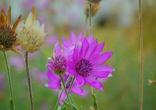 Purpurrote Wildflowers Lizenzfreie Stockbilder
