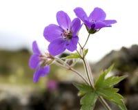 Purpurrote Wildflowers lizenzfreies stockbild