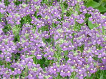 Purpurrote Wildflowers Lizenzfreie Stockfotografie