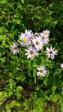 Purpurrote Wildflowers in der Wiese Lizenzfreie Stockbilder