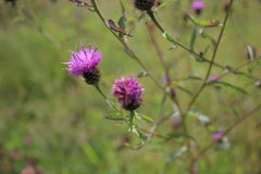 Purpurrote Wildflowers, die in einer Wiese wachsen Lizenzfreie Stockfotos