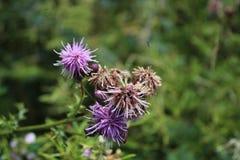 Purpurrote Wildflowers, die in einer Wiese wachsen Stockfotografie