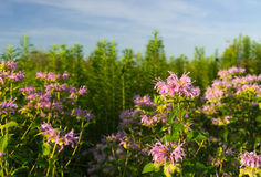 Purpurrote Wildflowers in Illinois Stockbilder
