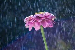 Purpurrote Zinniablume auf den Hintergrundbahnen mit Regen fällt stockfoto