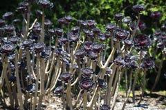Purpurroter Aeonium Succulent Lizenzfreies Stockfoto