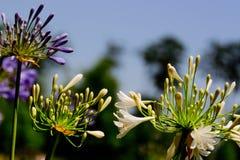 Purpurroter Agapanthus in der Blüte Stockfotografie