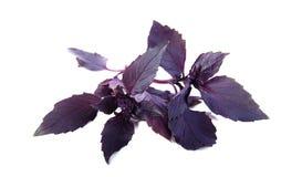 Purpurroter Basilikum Stockbild