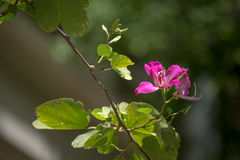 Purpurroter Bauhinia lizenzfreies stockfoto