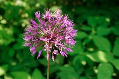Purpurroter Blütenstand des dekorativen Knoblauchs im Garten stockfotos
