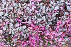 Purpurroter Blattbeschaffenheitshintergrund Stockfotos