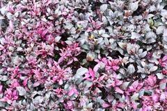 Purpurroter Blattbeschaffenheitshintergrund Stockfotografie