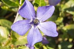 Purpurroter Blume Vincamajor Alias bigleaf, großes, größeres und Blaues Singrün Makro Stockfotos
