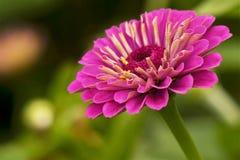 Purpurroter Blume Zinnia stockfoto