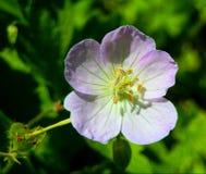 Purpurroter Blumen-Abschluss oben Lizenzfreies Stockfoto