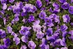 Purpurroter Blumen-Hintergrund Lizenzfreie Stockfotos