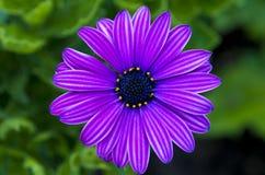 Purpurroter Blumen-Kopf Lizenzfreie Stockfotografie