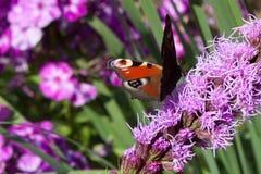 Purpurroter Blumenhintergrund mit Schmetterlingspfauauge Lizenzfreie Stockfotos